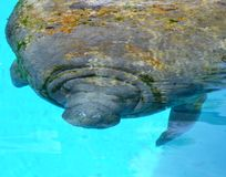 Close-up portrait of manatee in a pool royalty free stock images
