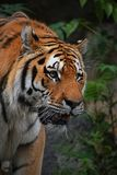 Close up portrait of mature Siberian tiger male. Amur tiger, Panthera tigris altaica, looking at camera out of dark forest, low angle front view Royalty Free Stock Image