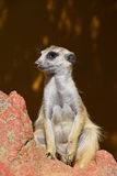 Close up portrait of meerkat looking away Royalty Free Stock Photos