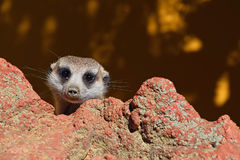 Close up portrait of meerkat looking at camera Royalty Free Stock Images