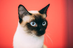 Close Up Portrait Of Mekong Bobtail Cat Kitten At Red Background Royalty Free Stock Images