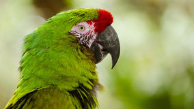Close up portrait of military macaw (ara militaris) Royalty Free Stock Images