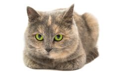 Close-up portrait of mixed breed cat isolated Stock Photo