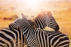 Close-up portrait of mother zebra with its foal Stock Image
