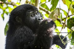 Close up Portrait of a mountain gorilla at a short distance in natural habitat. The mountain gorilla Gorilla beringei beringei Royalty Free Stock Photos