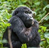Close up Portrait of a mountain gorilla at a short distance in natural habitat. The mountain gorilla Gorilla beringei beringei Royalty Free Stock Images