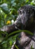 Close up Portrait of a mountain gorilla at a short distance in natural habitat. The mountain gorilla Gorilla beringei beringei Stock Photo