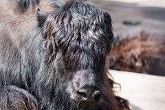 Close up portrait of Musk ox Ovibos Moschatus royalty free stock image