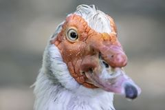 Close up portrait of Muskovy duck. royalty free stock photos
