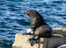 Close up portrait New Zealand Fur Seal, Arctocephalus forsteri, long-nosed fur seal posing in the sun on the stone. Portrait New Zealand Fur Seal, Arctocephalus royalty free stock image