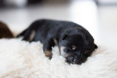 Close-up portrait of beautiful newborn black and tan Shiba Inu puppy sleeping on the blanket. Close-up portrait of newborn black and tan Shiba Inu puppy sleeping royalty free stock photo