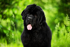 Close-up portrait of Newfoundland listening and looking at camer. A on a green forest background Stock Photography