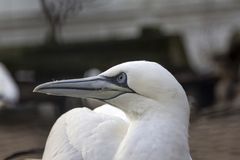 Close up portrait of a Northern gannet turning his head and blur royalty free stock photo