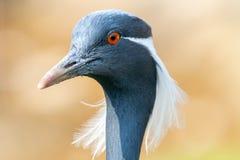 Close-up portrait of Demoiselle crane royalty free stock photos