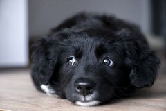 Free Close Up Portrait Of A Thoughtful Black And White Puppy Stock Images - 204059804