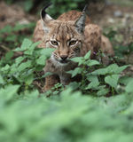 Close-up Portrait Of An Eurasian Lynx Stock Image