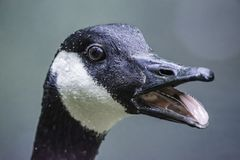 Free Close Up Portrait Of Canadian Goose With Open Beak Royalty Free Stock Photography - 148820377