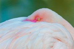Portrait of a Flamingo royalty free stock photo