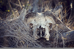 Close-up portrait of an old and dry buffalo skull horns Royalty Free Stock Photo