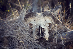 Close-up portrait of an old and dry buffalo skull horns Stock Image