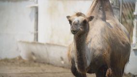 Portrait of one camel. Close-up portrait of one camel stock video