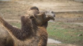 Portrait of one camel. Close-up portrait of one camel stock video footage