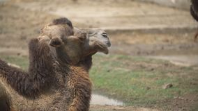 Portrait of one camel. Close-up portrait of one camel stock footage