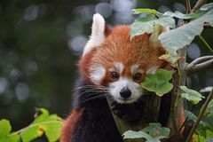 Close up portrait of red panda on tree. Close up portrait of one cute red panda on green tree, looking at camera, low angle view Stock Image