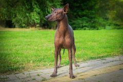 Close up portrait One Mexican hairless dog xoloitzcuintle, Xolo in full growth ion a background of green grass and trees in the royalty free stock photo