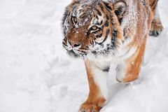 Close up portrait of Siberian tiger in winter snow. Close up portrait of one young male Amur Siberian tiger in fresh white snow sunny winter day, looking up at Stock Images