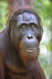 A close up portrait of the orangutan.  Bornean orangutan (Pongo pygmaeus) in the. Orangutan Portrait. A close up portrait of the orangutan. Close up at a short Royalty Free Stock Photography