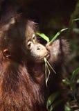 Close up portrait of orangutan cub. Stock Photo