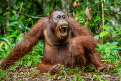 A close up portrait of orangutan with open mouth. Stock Photo