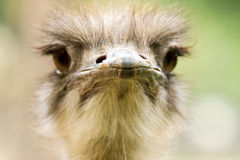 Close-up portrait of ostrich Stock Photography
