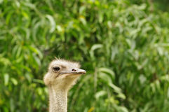 Close-up portrait of an ostrich with blurred leaves on the background. Royalty Free Stock Photos