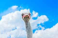 Close-up portrait of a ostrich over blue sky with white clouds Royalty Free Stock Image