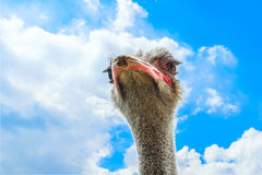 Close-up portrait of a ostrich over blue sky with white clouds Stock Photography