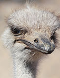 A Close Up Portrait of an Ostrich Royalty Free Stock Photo