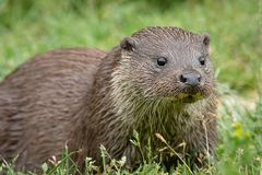 Close up portrait of an otter. A very close up low level portrait of an otter staring slightly right of the camera with eyes wide open and a plain grass Stock Photography