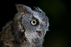 Eastern Screech Owl portrait against black background royalty free stock image