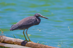 Close up portrait of Pacific Reef Egret (Egretta sacra) Stock Images