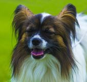 Close-up portrait of a papillon. A small white and red papillon royalty free stock image