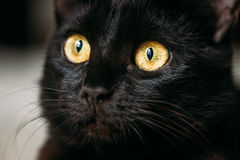 Close Up Portrait Peaceful Black Female Kitten Cat Stock Photo