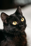 Close Up Portrait Peaceful Black Kitten Cat Royalty Free Stock Photo