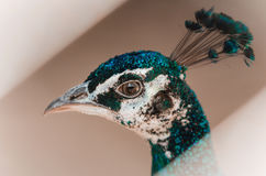 Close up portrait Peacock`s. Peahen Head on Gray background. Royalty Free Stock Photo