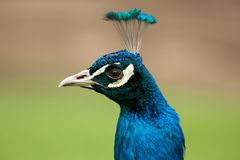 Close-up Portrait of a Peacocks Head. Head of a male peacock Royalty Free Stock Image