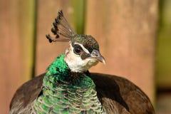 Peahen portrait. Close up portrait of a peahen Royalty Free Stock Photo