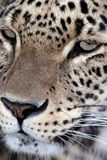 Close up portrait of a Persian Leopard Stock Image