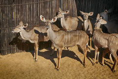 Close-up portrait picture of Kudu Stock Image