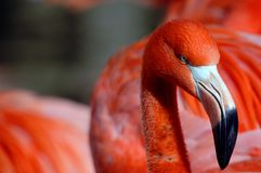 Close up portrait of a Pink Flamingo Royalty Free Stock Photo